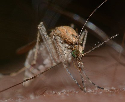 Insects, Mosquito, Culex, Pipiens, Macro
