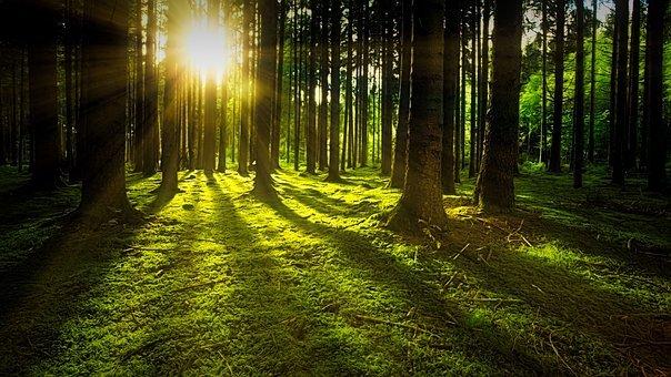 Trees, Moss, Forest, Sunlight, Sunrays
