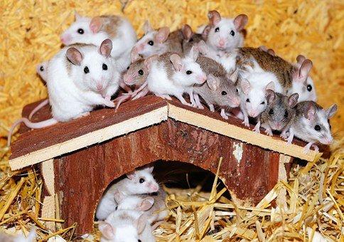 Mastomys, Mice, House, Wood, Roof